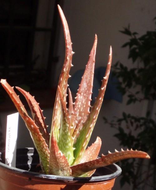 Aloe dorotheae 4202934462_50db82073b_o