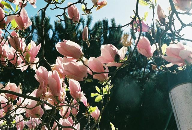 Magnolias in Yerba Buena