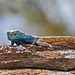 Small photo of Southern Rock Agama (Agama atra) male