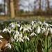 Snowdrops - Hodsock Priory