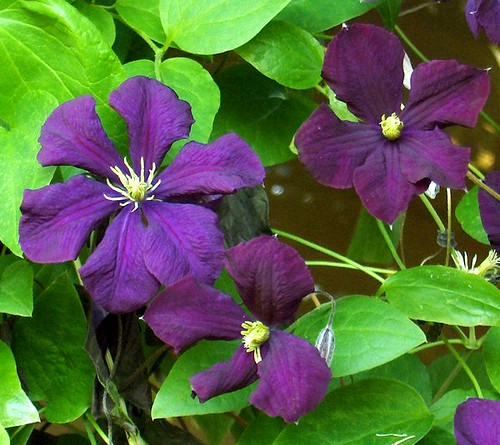 clematis viticella 39 etoile violette 39 flickr photo sharing. Black Bedroom Furniture Sets. Home Design Ideas