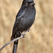 Fork-tailed Drongo portrait IMG_3720