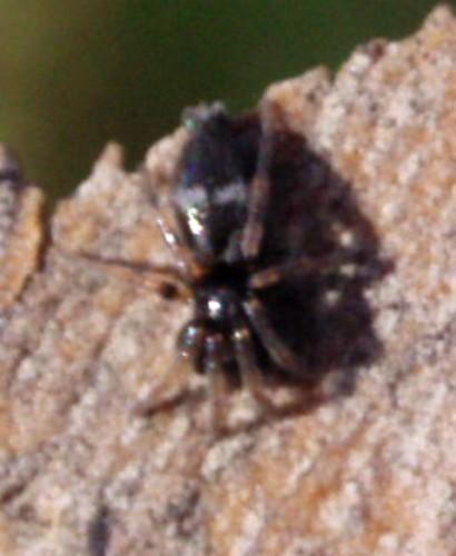 Aphantaulax trifasciata 3715418179_536c101c06_o