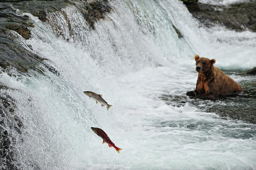 Salmon run - Brooks Falls, Alaska