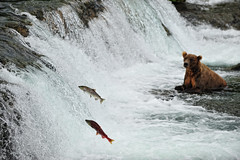 Salmon run - Brooks Falls, Alaska by ConstantineD