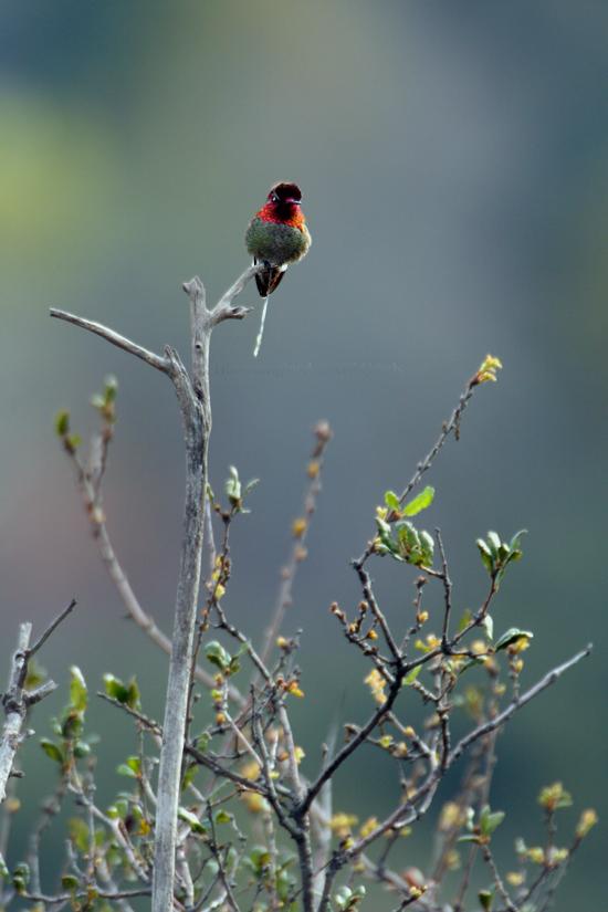 Anna's Hummingbird081-4