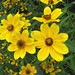 bur-marigold - Photo (c) Kerry Wixted, some rights reserved (CC BY-NC)