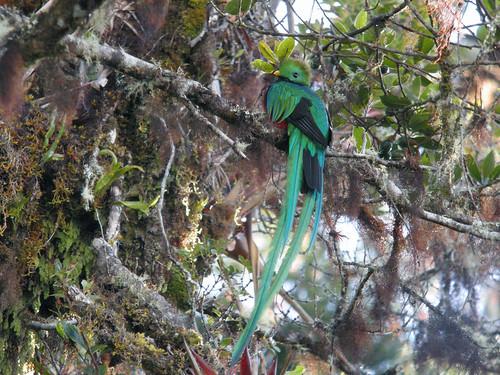 Resplendent Quetzal, Mirador de Quetzales, Costa Rica