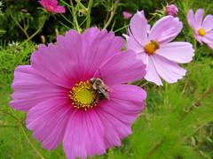 annual plant(1.0), flower(1.0), garden cosmos(1.0), plant(1.0), macro photography(1.0), wildflower(1.0), flora(1.0), cosmos(1.0), pink(1.0), petal(1.0),