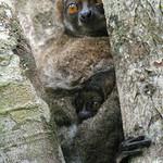 Avahi laniger, Andasibe, Madagascar