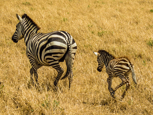 Zebra and newborn, Maasai Mara, Kenya