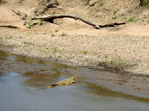 Crocodile, Maasai Mara, Kenya