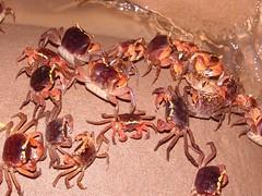 港口段的奧氏仿相手蟹是全台第二大族群,卻因阻礙重重族群正萎縮中。(圖片來源:墾管處)
