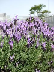 hyssopus(0.0), rosemary(0.0), annual plant(1.0), flower(1.0), purple(1.0), english lavender(1.0), plant(1.0), lavandula stoechas(1.0), lavender(1.0), lilac(1.0), lavender(1.0), herb(1.0), flora(1.0),