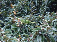 flower(0.0), plant(0.0), arctostaphylos uva-ursi(0.0), produce(0.0), food(0.0), evergreen(1.0), shrub(1.0), tree(1.0), fruit(1.0), loquat(1.0), aquifoliaceae(1.0), aquifoliales(1.0),