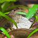 Amano Shrimp & Algae Wafer