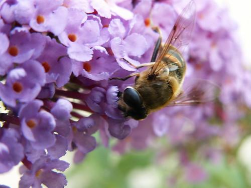 Die Vögel zwitschern in Dresden, die Biene lustig bunt bemalt die Blüte 079