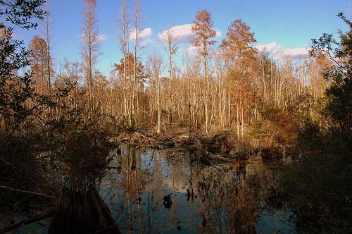 autumn ecology ga georgia view naturalhistory wetland protected okefenokeeswamp baldcypress okefenokeenationalwildliferefuge stephencfosterstatepark warecounty francisharper landoftremblingearth copyrightbrianbrown okefinokee