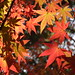 Small photo of Acer palmatum