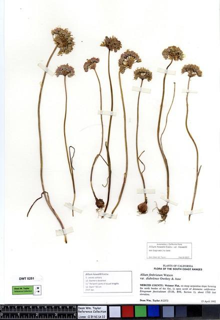 Header of Allium howellii var. howellii