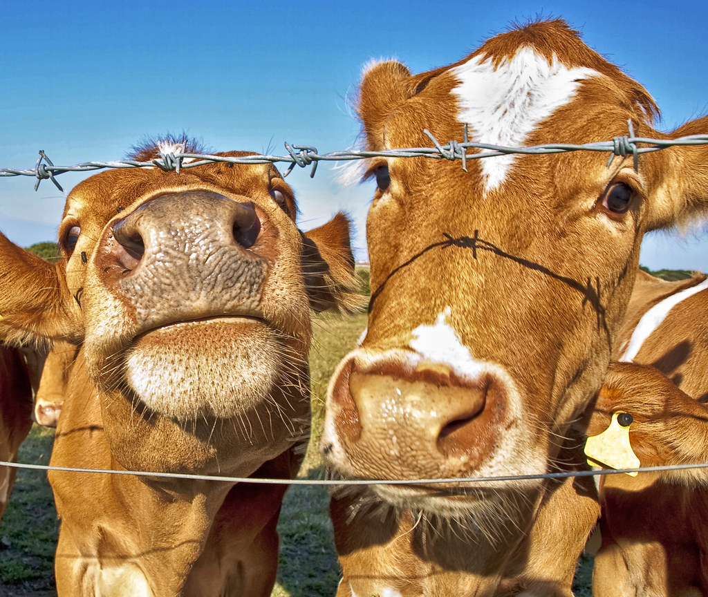 Poddy Calves - Alderney