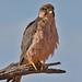 Lanner Falcon portrait IMG_2726