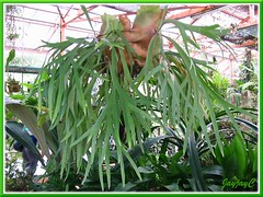 Platycerium bifurcatum (Staghorn Fern) at Rimba Ilmu Botanic Garden, KL - Aug 1 2009