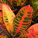 Crotons - Photo (c) John, some rights reserved (CC BY-NC)