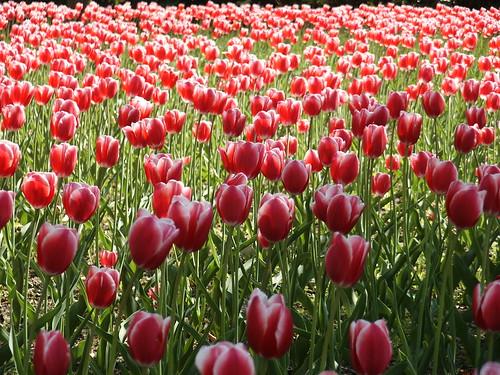 Tulpenfreude by orangegelb345