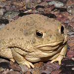 Texas Toad, west Texas