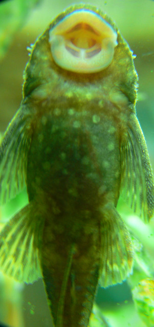 You 39 re such a sucker fish flickr photo sharing for Sucker fish pictures