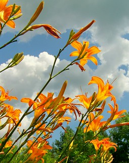 Lillies to the sky