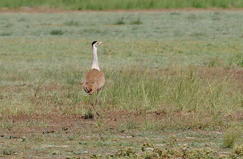 Indian Bustard (Choriotis nigriceps)