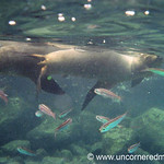 Swimming with Sea Lions - Galapagos Islands