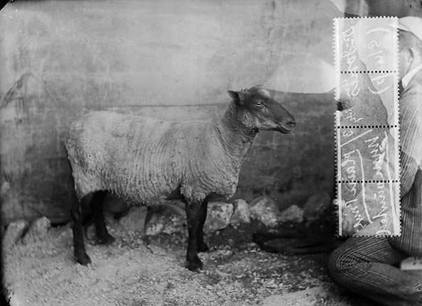 Dr Jones's sheep, Llanboidy