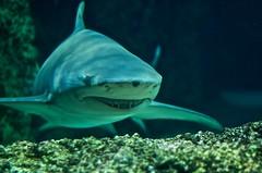 deep sea fish(0.0), reef(0.0), animal(1.0), fish(1.0), shark(1.0), marine biology(1.0), underwater(1.0), tiger shark(1.0),