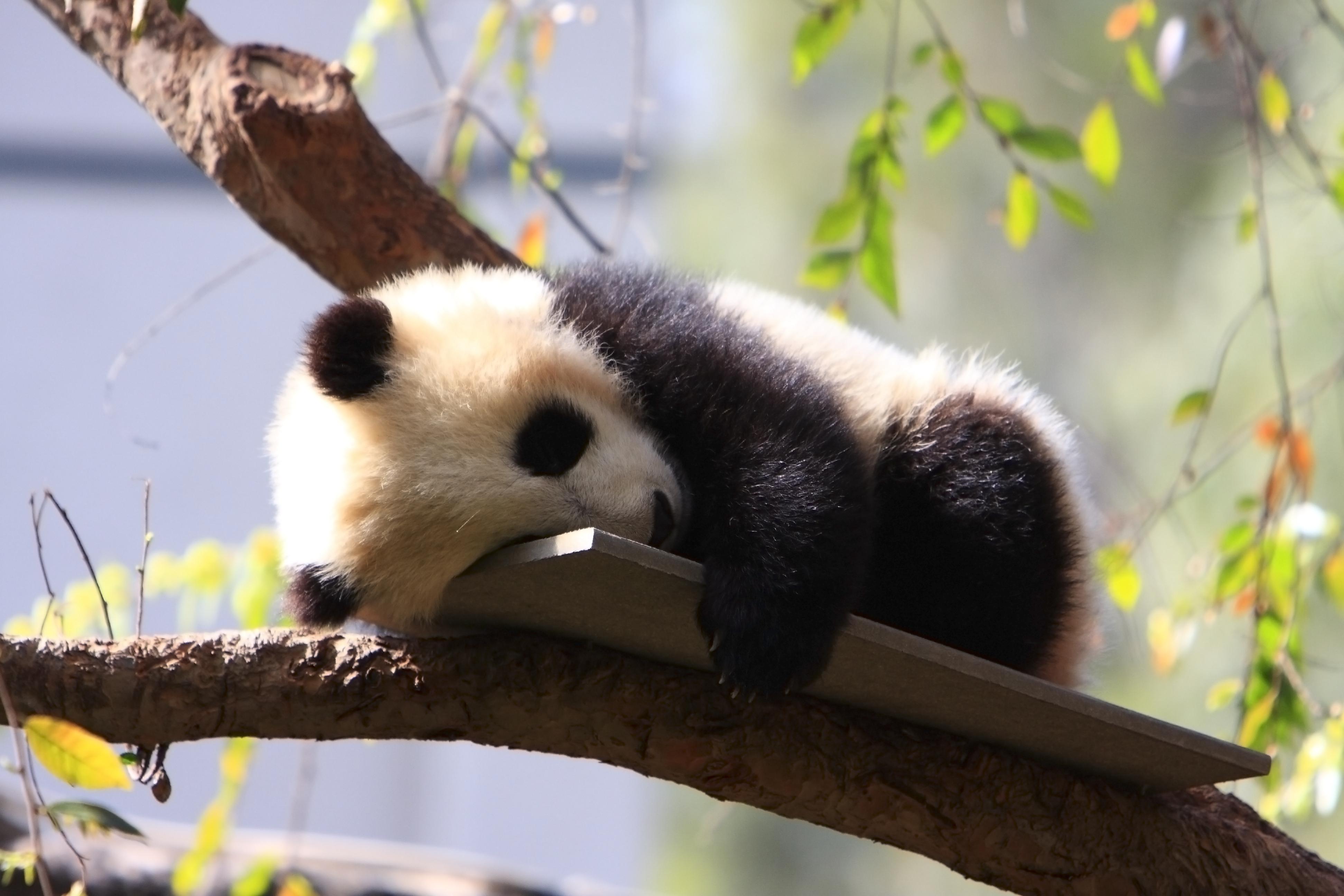 Baby Panda Bear Cub San Diego Zoo Flickr Photo Sharing