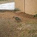 Small photo of Hadeda ibis