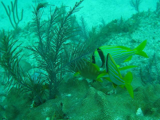 7 florida keys reef fish 1 flickr photo sharing for Florida reef fish