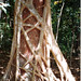 Strangler Fig - Photo (c) Pete The Poet, some rights reserved (CC BY-NC)