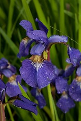 eye(0.0), iris(1.0), flower(1.0), iris versicolor(1.0), purple(1.0), macro photography(1.0), flora(1.0),