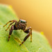 jumping spider by rian.krenzer