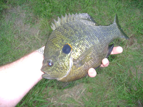First post bluegill on the fly bluegill sunfish for Fly fishing for bluegill