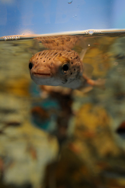 20090812 Notojima Aquarium 1 (Porcupinefish)  Flickr - Photo Sharing!