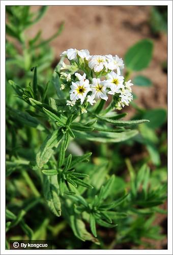 内蒙古植物照片-紫草科砂引草属砂引草