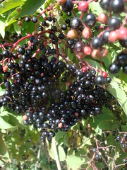 blackberry(0.0), shrub(0.0), plant(0.0), huckleberry(0.0), crataegus pinnatifida(0.0), produce(0.0), food(0.0), schisandra(0.0), zante currant(0.0), boysenberry(0.0), berry(1.0), chokecherry(1.0), chokeberry(1.0), fruit(1.0), currant(1.0), elderberry(1.0),