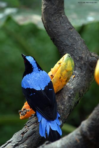 Asian Fairy-bluebird - Male (Irena puella)