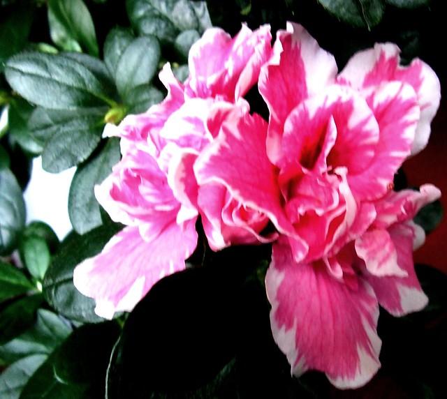 Image Result For Azalea Color