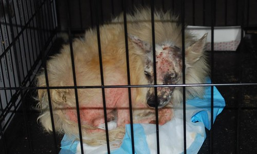 isick dog in a cage seized from puppy mill bust in Fort Worth Texas