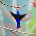 #524 黃腹背展 (Graceful Blue Back)